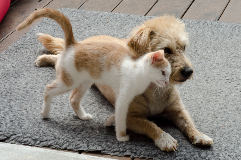 Pistache (ancien Lonny) chaton Blanc et Roux clair né début mai 2015 Lonny%20S4-22_zpsgfkxlvo6