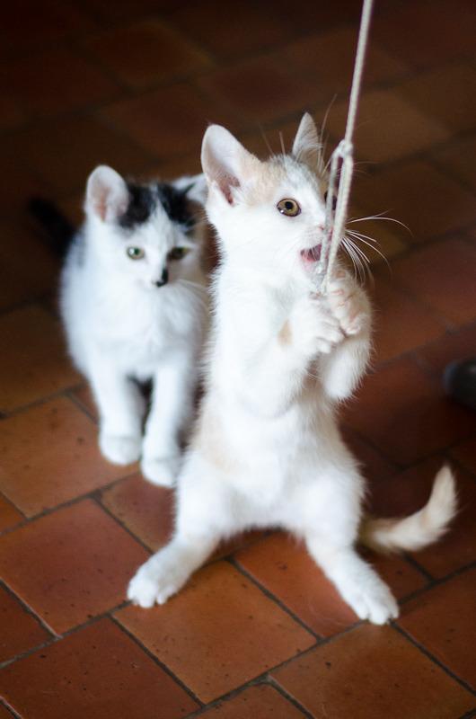 Pistache (ancien Lonny) chaton Blanc et Roux clair né début mai 2015 Lonny%20S4-4_zpshidgsqj5