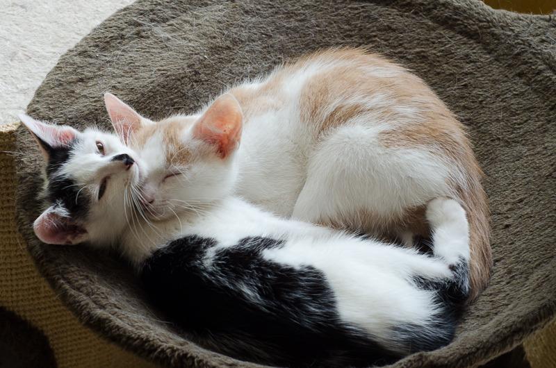 Pistache (ancien Lonny) chaton Blanc et Roux clair né début mai 2015 Lonny%20S4-6_zpscnzoy3th
