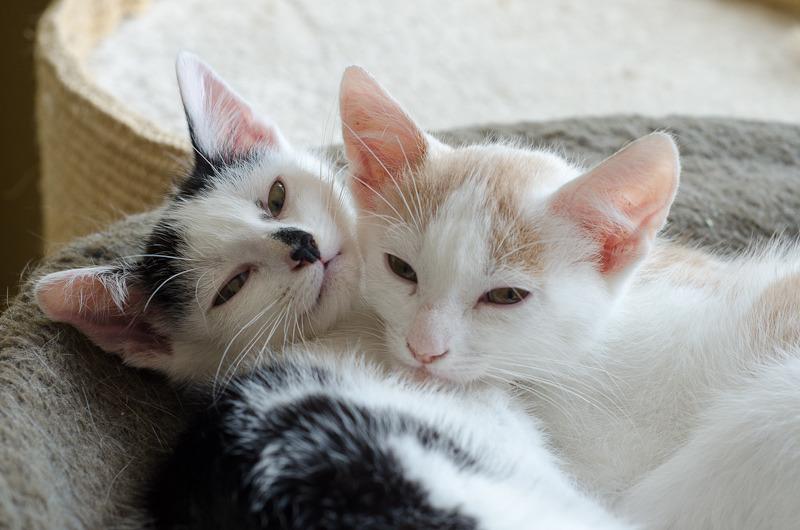 Pistache (ancien Lonny) chaton Blanc et Roux clair né début mai 2015 Lonny%20S4-8_zpsfra1wk4v