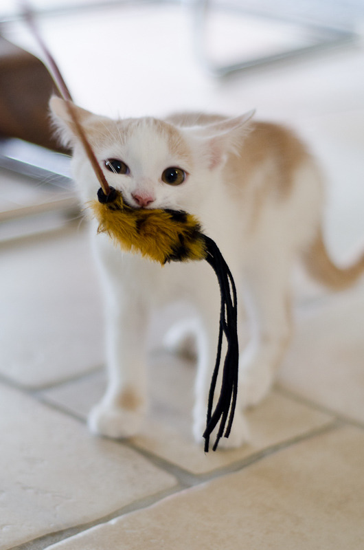 Pistache (ancien Lonny) chaton Blanc et Roux clair né début mai 2015 Lonny%20S4-9_zpsfpgk9mut