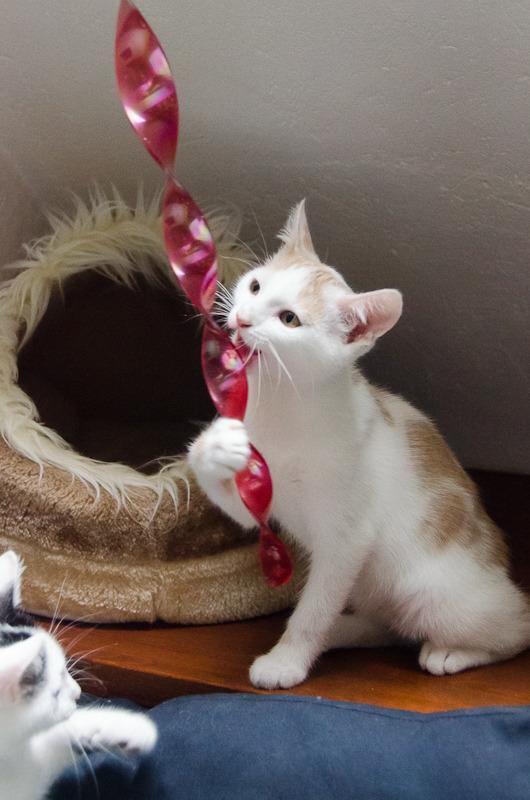 Pistache (ancien Lonny) chaton Blanc et Roux clair né début mai 2015 Lonny%20S5-12_zpsiclw5kur