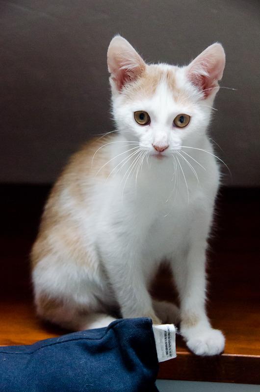 Pistache (ancien Lonny) chaton Blanc et Roux clair né début mai 2015 Lonny%20S5-14_zpsw15wa8xx