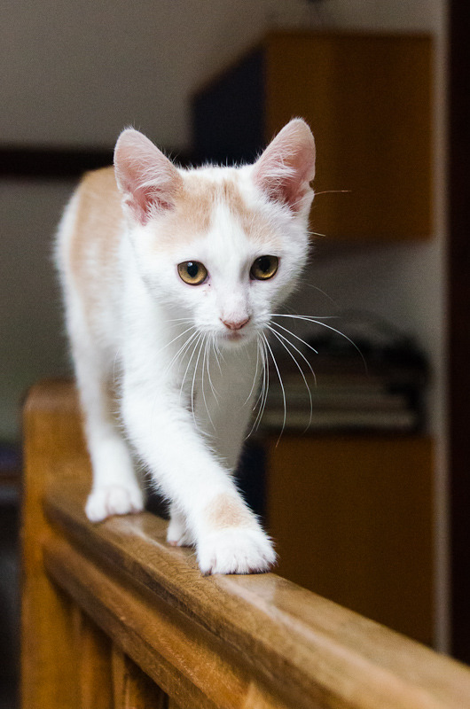 Pistache (ancien Lonny) chaton Blanc et Roux clair né début mai 2015 Lonny%20S5-18_zpssocrqsup