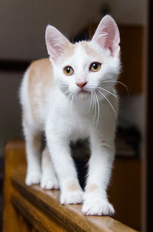 Pistache (ancien Lonny) chaton Blanc et Roux clair né début mai 2015 Lonny%20S5-19_zpsxncrmmlq