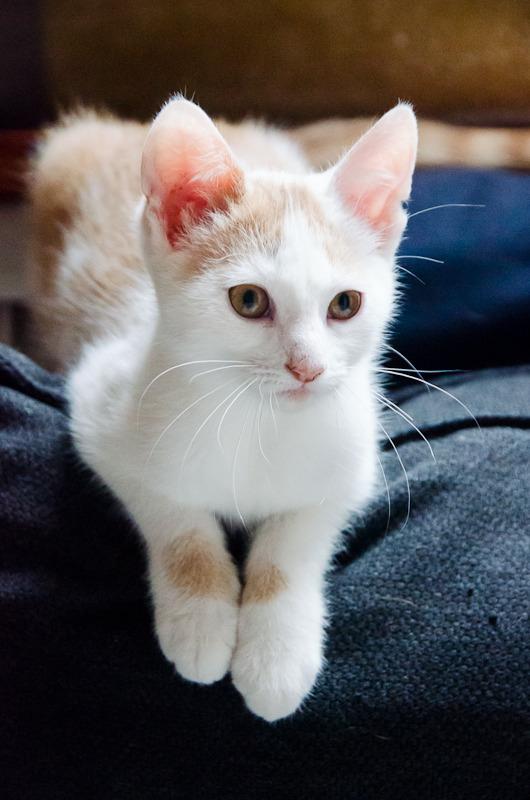 Pistache (ancien Lonny) chaton Blanc et Roux clair né début mai 2015 Lonny%20S5-20_zpsdrkg5610