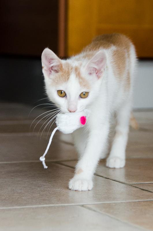 Pistache (ancien Lonny) chaton Blanc et Roux clair né début mai 2015 Lonny%20S5-9_zpsa19kmtj1