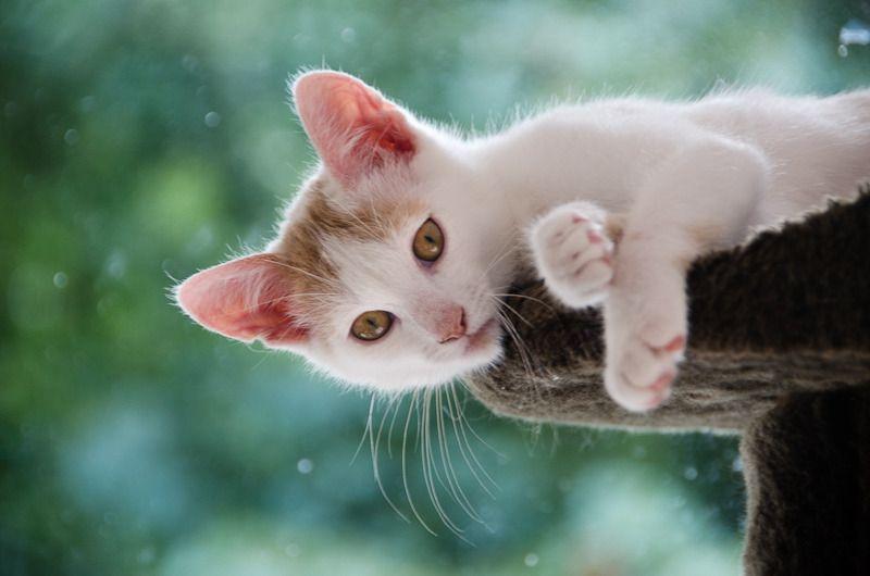 Pistache (ancien Lonny) chaton Blanc et Roux clair né début mai 2015 - Page 2 Lonny%20S6-21_zpsu8ntdxxq