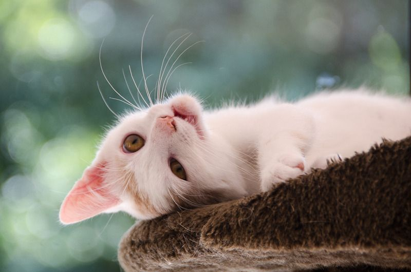 Pistache (ancien Lonny) chaton Blanc et Roux clair né début mai 2015 - Page 2 Lonny%20S6-23_zps3izquisv