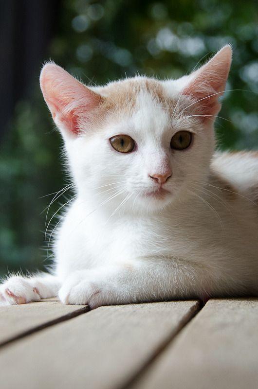 Pistache (ancien Lonny) chaton Blanc et Roux clair né début mai 2015 - Page 2 Lonny%20S7-2_zpsytwkassz