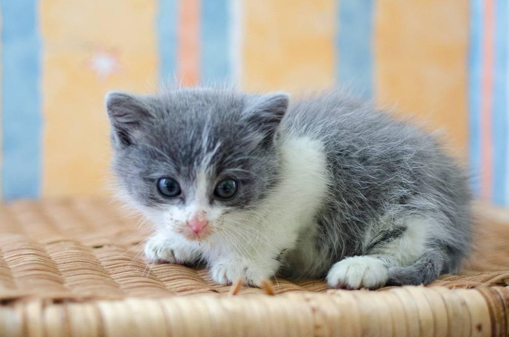 Muffin, mâle gris et blanc, né le 17 mai 2016 Chatons%20Guignen-2_zpsvqu2whgq
