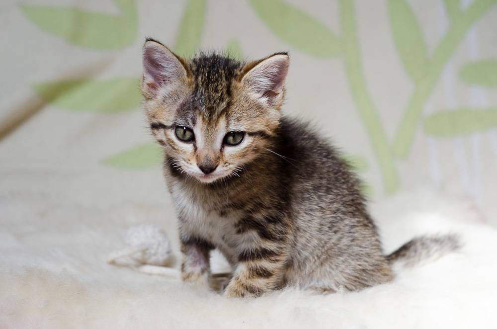Melba, européenne tigrée née le 1er Août 2016 J13%20-%20Melba-2_zpsorhrhnfv