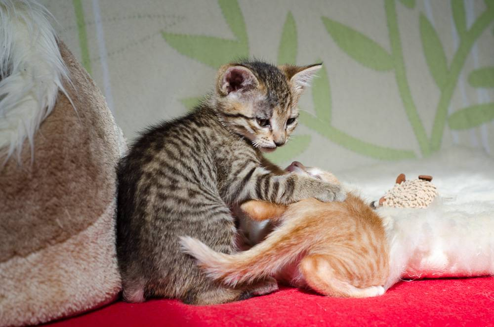 Melba, européenne tigrée née le 1er Août 2016 J15%20-%20Melba-5_zps5hsbwqyf