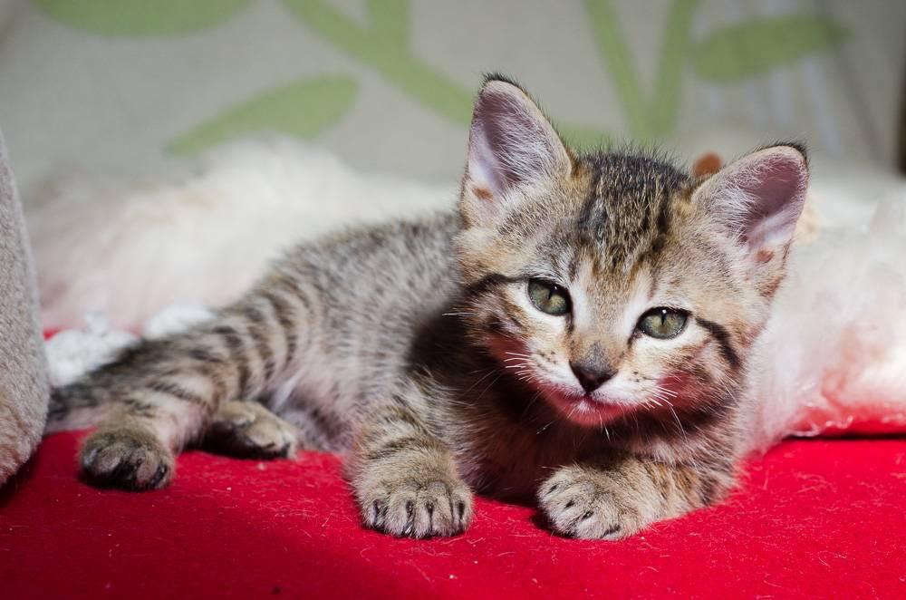 Melba, européenne tigrée née le 1er Août 2016 J15%20-%20Melba-6_zps6yuffgrf