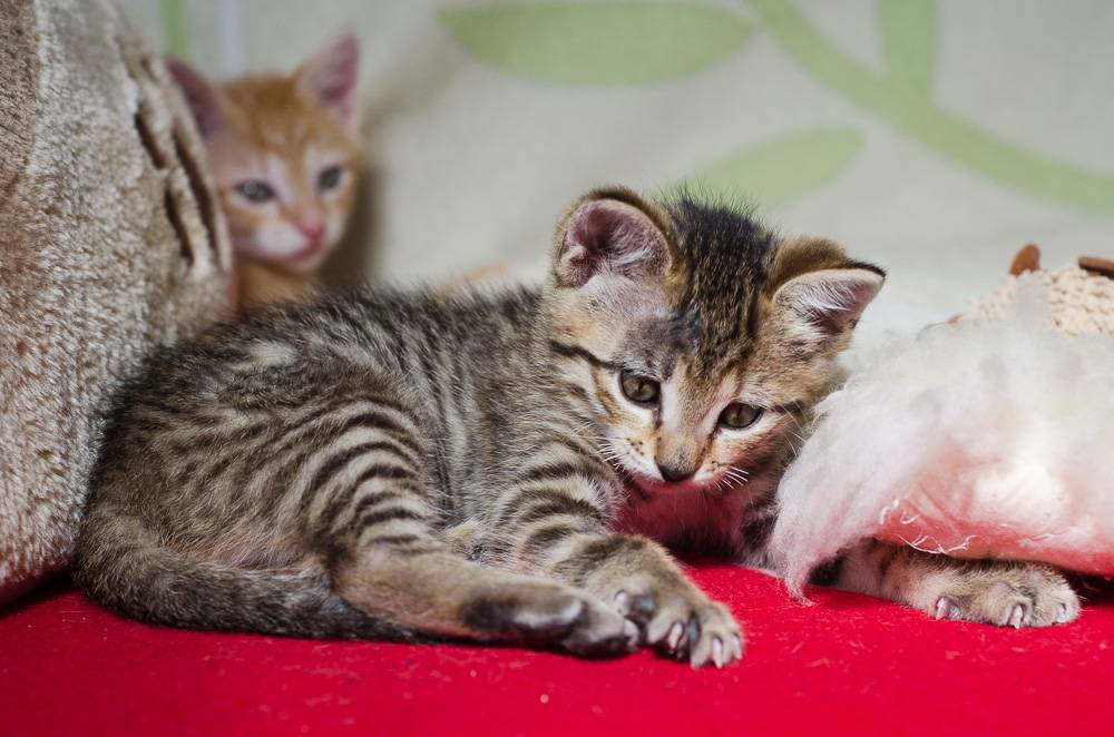 Melba, européenne tigrée née le 1er Août 2016 J15%20-%20Melba-7_zpsoe5qnsaf