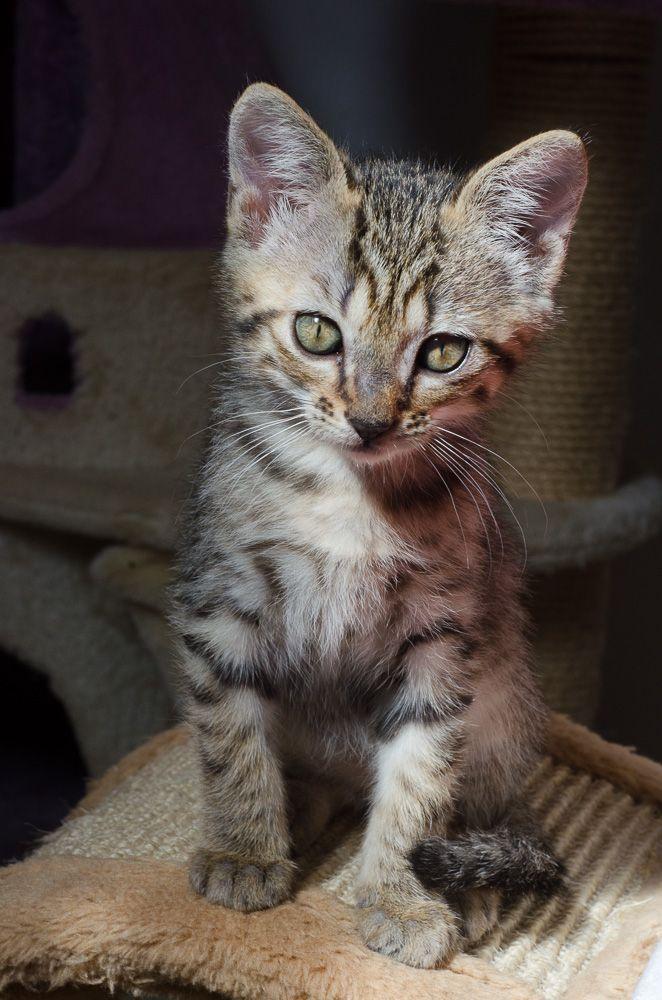 Miette, européenne tigrée née le 1er Août 2016 J15%20-%20Miette-2_zpss3bykrfq