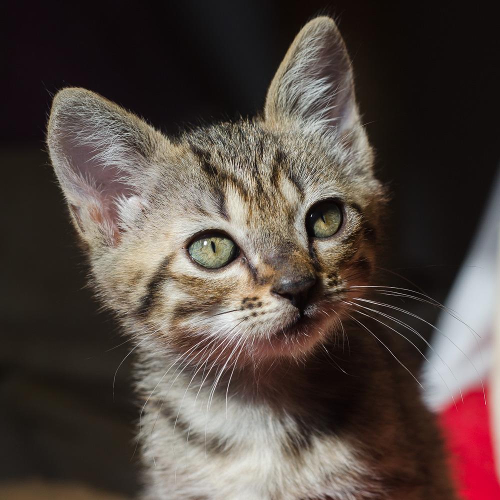 Miette, européenne tigrée née le 1er Août 2016 J15%20-%20Miette-7_zpsxsobovsa