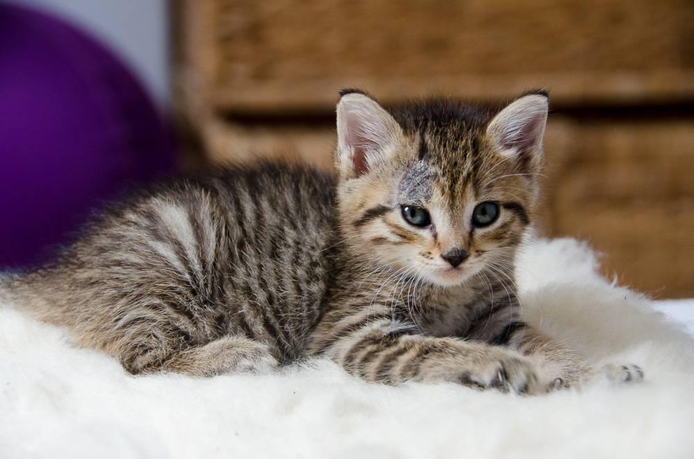 Melba, européenne tigrée née le 1er Août 2016 J3%20-%20Melba-2_zpssbfcqd0k