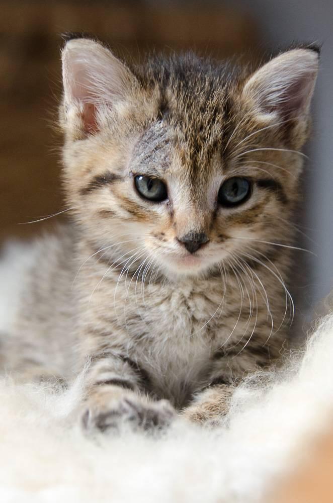 Melba, européenne tigrée née le 1er Août 2016 J3%20-%20Melba-3_zps1yaak6k0