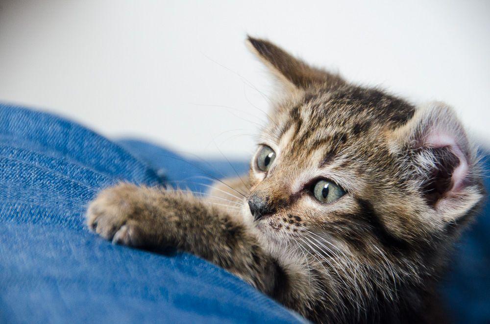 Miette, européenne tigrée née le 1er Août 2016 J3%20-%20Miette-4_zpsvq6tbxgp