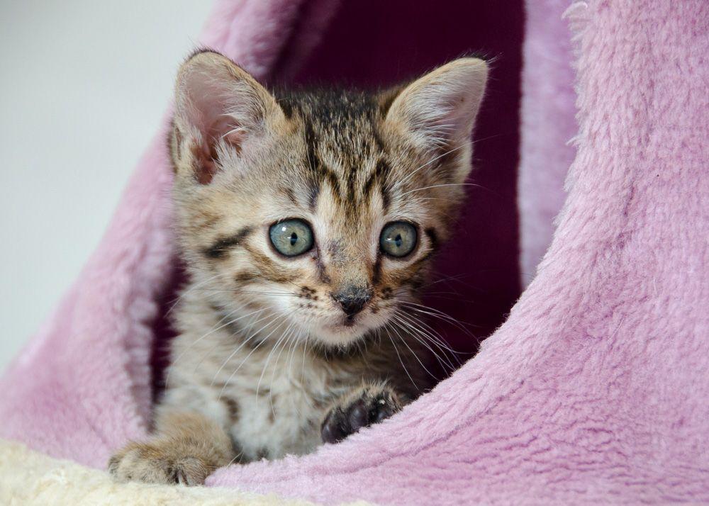 Miette, européenne tigrée née le 1er Août 2016 J3%20-%20Miette-7_zpsarwmetjr