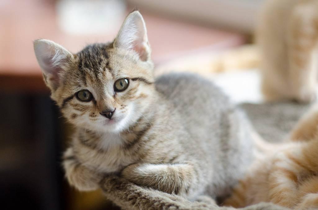 Melba, européenne tigrée née le 1er Août 2016 J30-%20Melba-10_zps2crog8kf