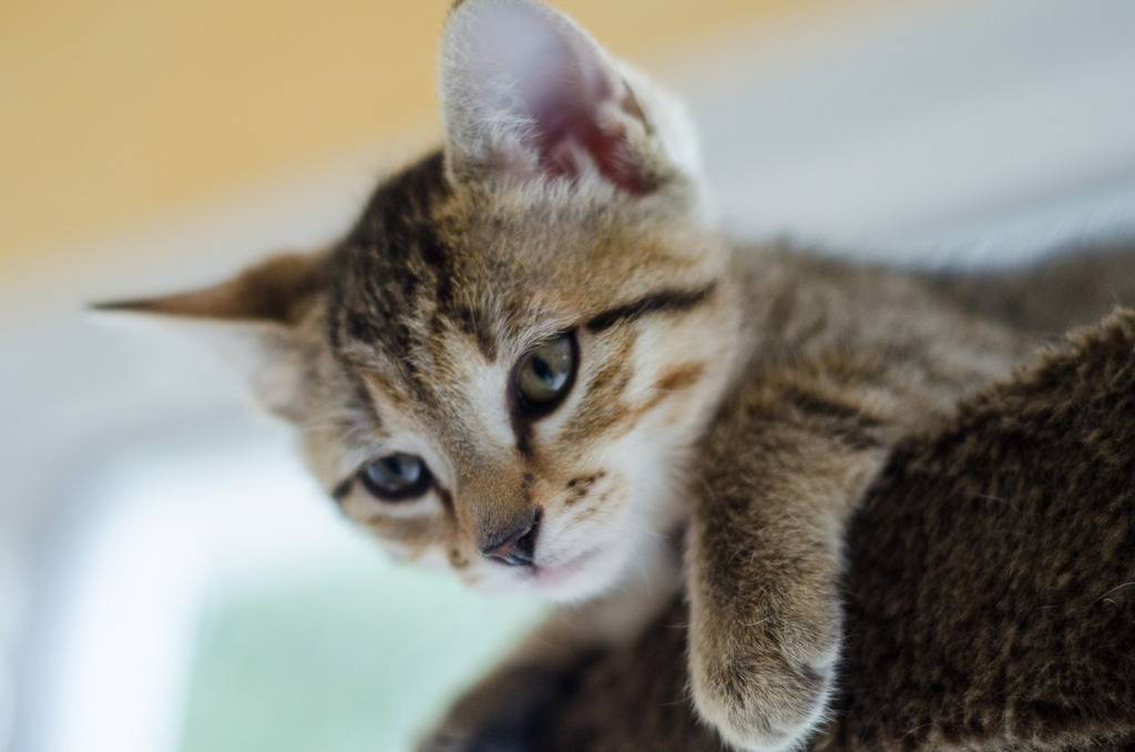 Melba, européenne tigrée née le 1er Août 2016 J30-%20Melba-6_zpsas40cnao