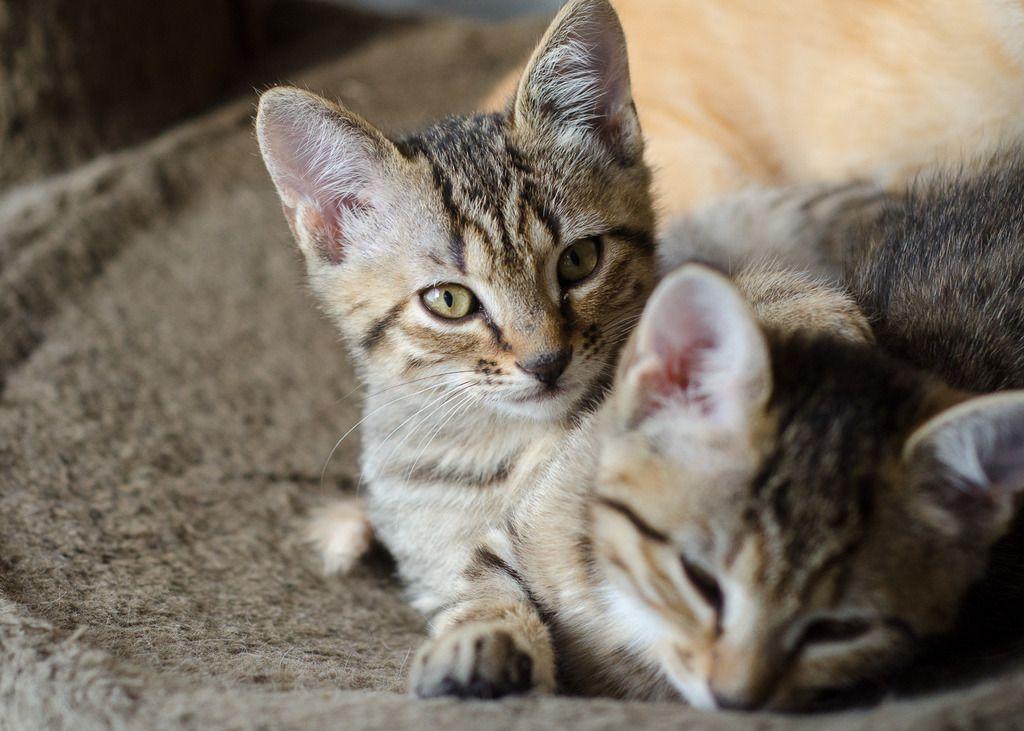 Miette, européenne tigrée née le 1er Août 2016 J30-%20Miette-3_zpsd0jdwb1d