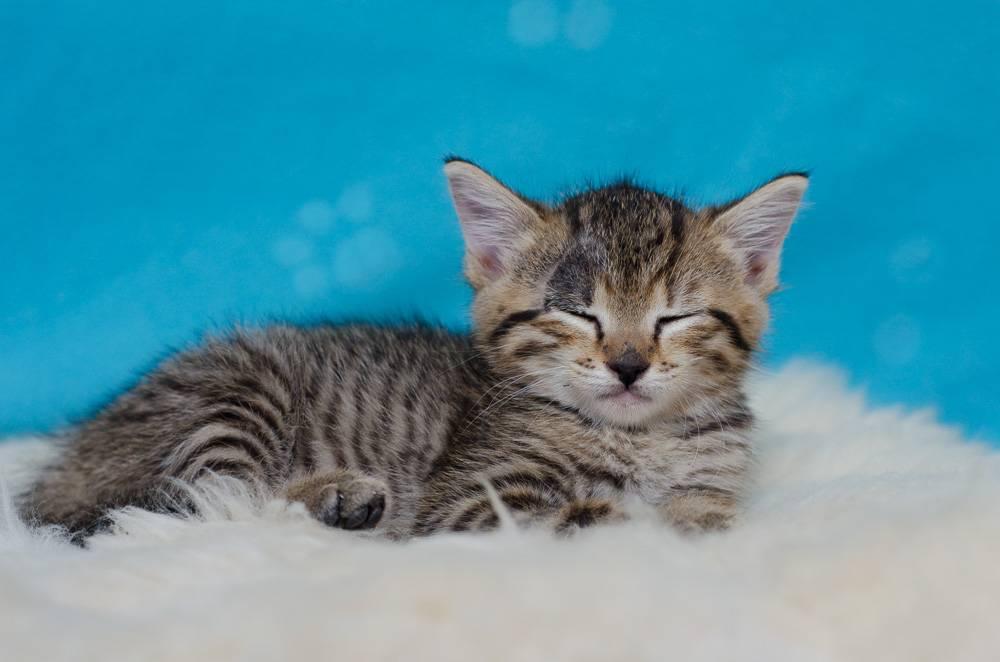 Melba, européenne tigrée née le 1er Août 2016 J6%20-%20Melba-10_zps9eh74hgn