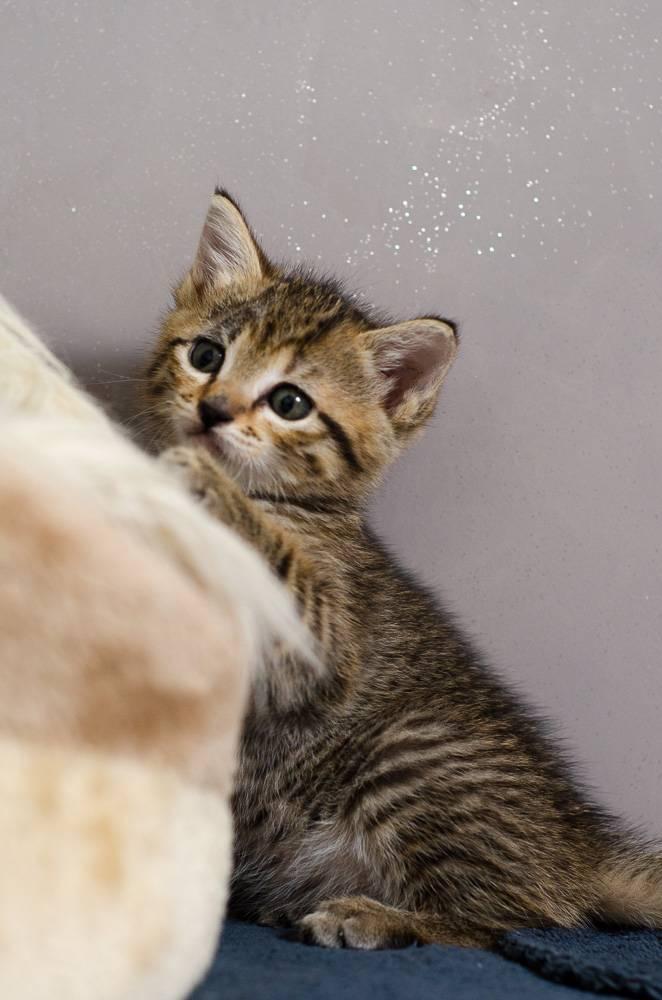 Melba, européenne tigrée née le 1er Août 2016 J6%20-%20Melba-3_zpsd8z7v9if