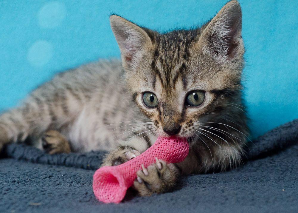 Miette, européenne tigrée née le 1er Août 2016 J6%20-%20Miette-8_zps5ikfwir0