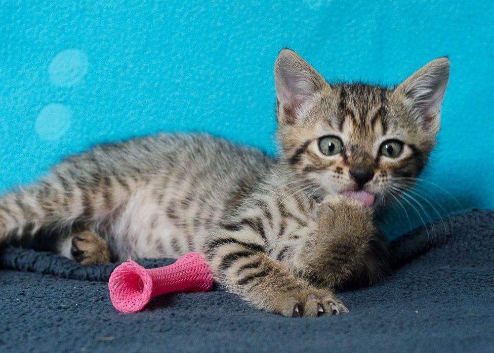 Miette, européenne tigrée née le 1er Août 2016 J6%20-%20Miette-9_zpsm0iyji9w