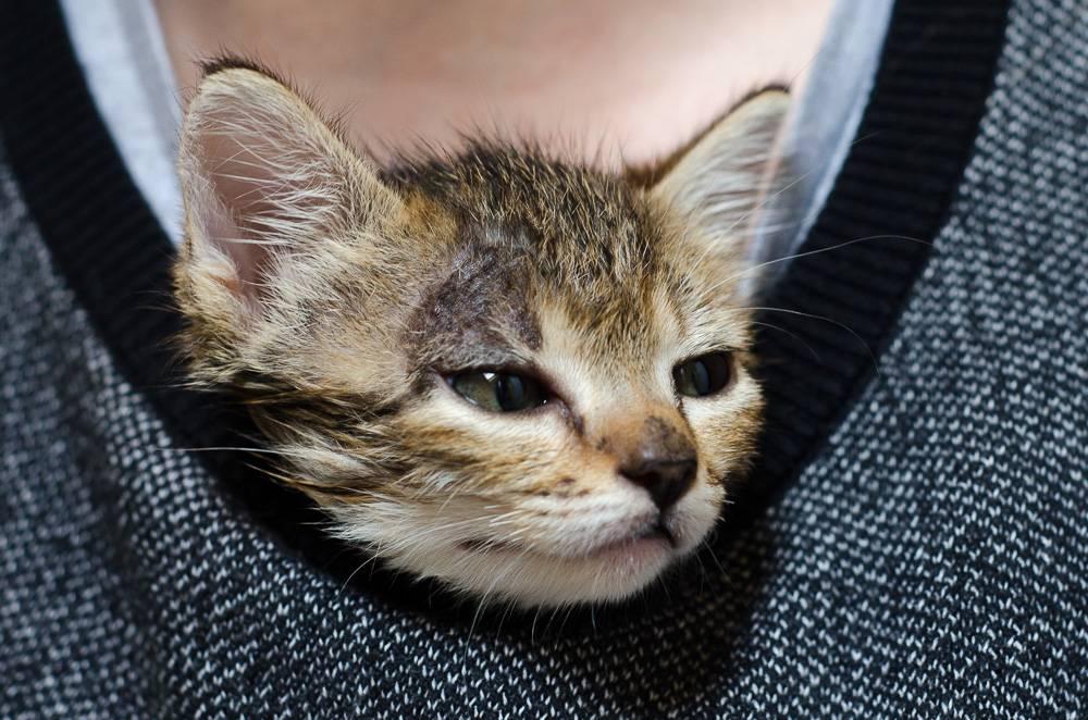 Melba, européenne tigrée née le 1er Août 2016 J8%20-%20Melba-1_zpszhqctmfg