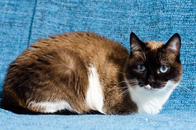 Kiwi, femelle type siamoise née le 4 juin 2013 Kiwi%20J5-8_zpssjt36nve