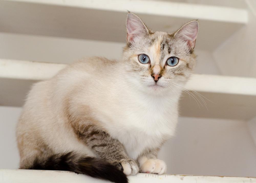 Linoa, femelle typée siamoise, née le 15 mai 2015 - Page 2 Linoa%20S1-12_zps6kiijmud