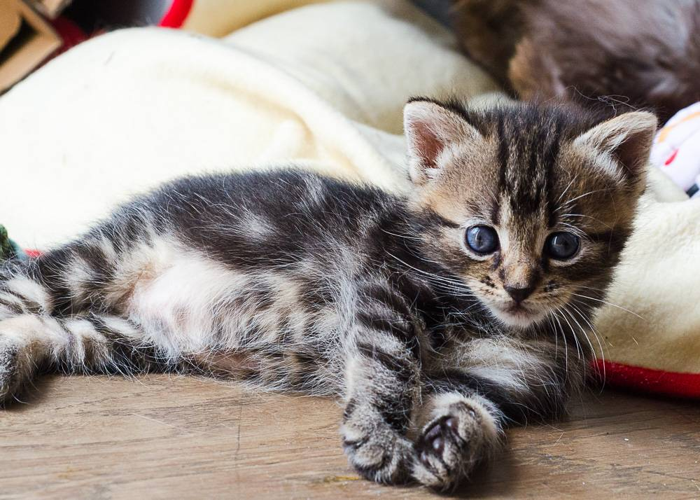 Maggie, femelle tigrée née le 27 avril 2016 Maggie%20S2-12_zpsg9tmvbg9