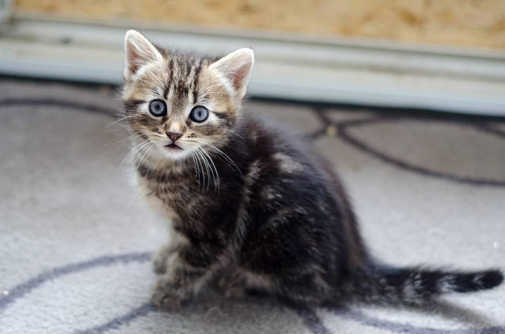 Maggie, femelle tigrée née le 27 avril 2016 Maggie%20S3-1_zpshedfhrk5
