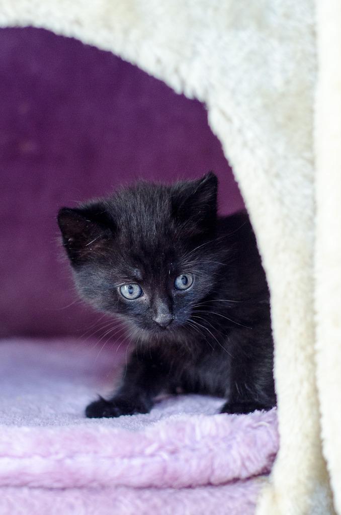 Thïa, (ex Minnie) femelle européenne noire estimée née 20/03/2016 Minnie%20chatonne%20noire-5_zps0yp1b9py