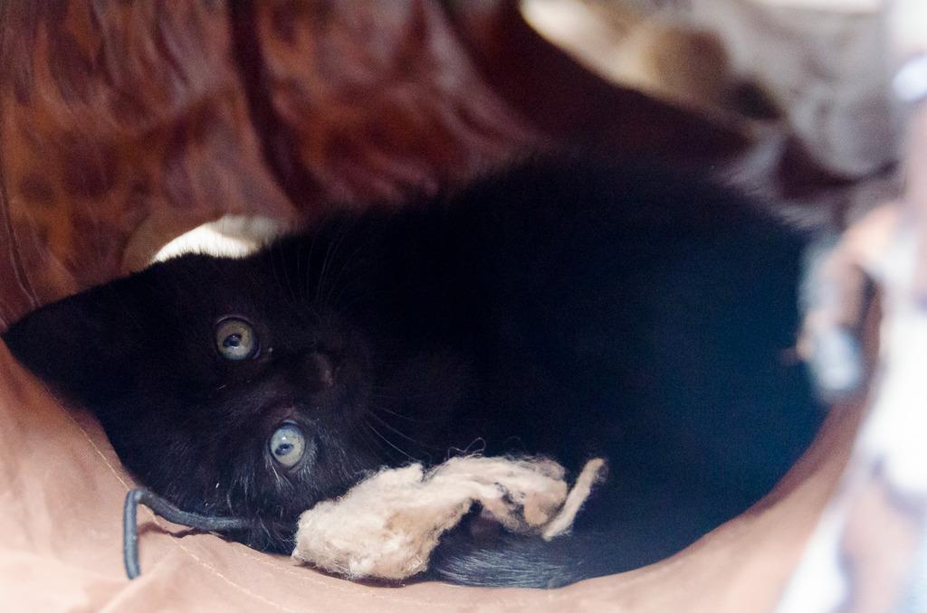 Thïa, (ex Minnie) femelle européenne noire estimée née 20/03/2016 MinnieS2-15_zpsx944zgfz