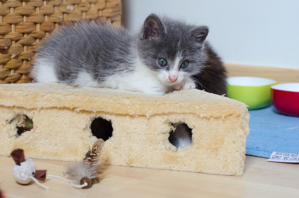 Muffin, mâle gris et blanc, né le 17 mai 2016 Muffin%20S2-8_zpsdh5eyjez