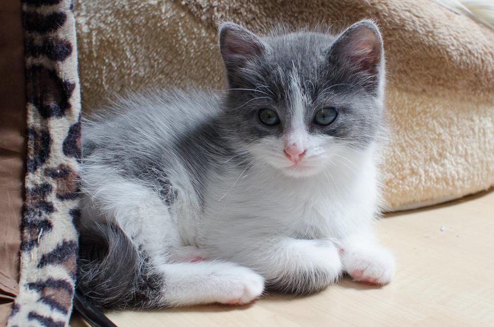Muffin, mâle gris et blanc, né le 17 mai 2016 Muffin%20S3-5_zpssjcjryqm