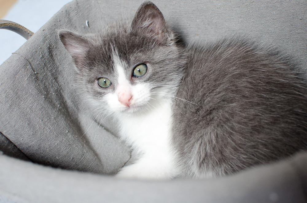 Muffin, mâle gris et blanc, né le 17 mai 2016 Muffin%20S3-6_zpszs1lrxvo