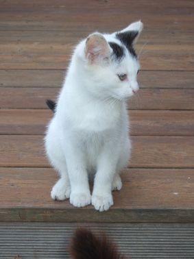 Max (ancien Jax), mâle type européen blanc et noir estimé né 01/08/2014 DSCF2032_zpsd2720925
