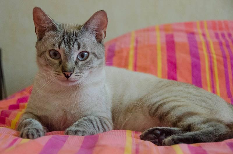 Hippy, mâle type européen croisé siamois né en novembre 2011 - Page 2 Hippyseance1-33_zps371172db