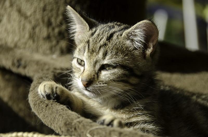 Iago, chaton tigré né vers le 15 aout 2013 - Page 2 Iago-J41-16_zpsa0a9d5b8
