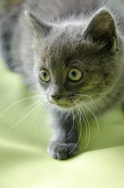 Icare, chaton gris/bleu, né 1er septembre 2013 Icare-2_zps2094757a