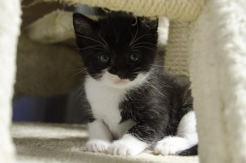Iona, chatonne noire et blanche, née vers le 15 Aout 2013 Iona-J11-1_zpsdb93e2b1