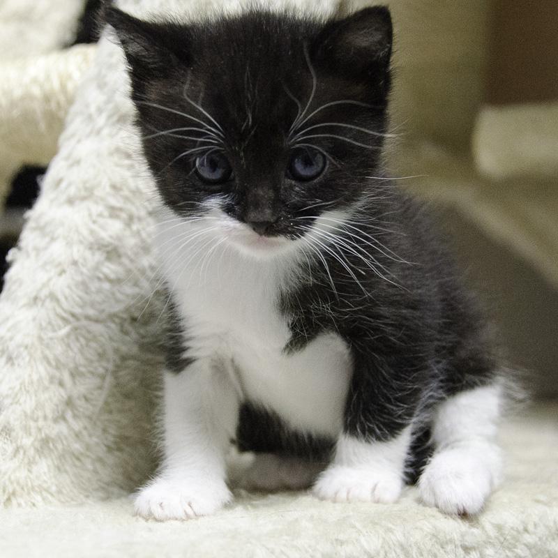 Iona, chatonne noire et blanche, née vers le 15 Aout 2013 Iona-J11-3_zpsbf55b26b