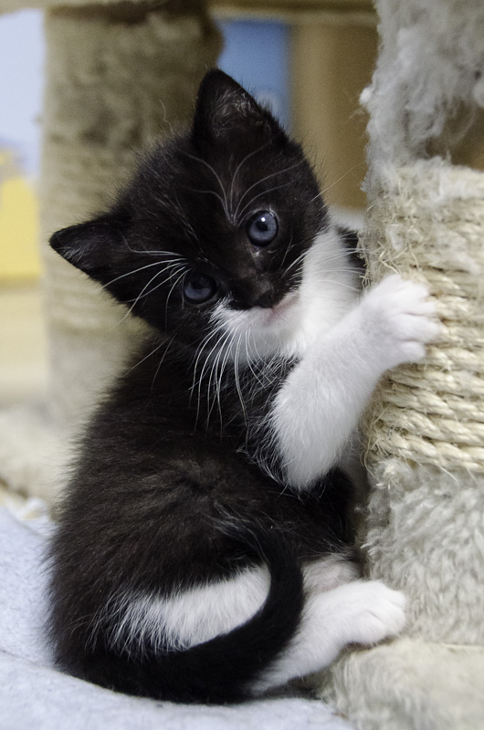 Iona, chatonne noire et blanche, née vers le 15 Aout 2013 Iona-J11-5_zps8bea90ac