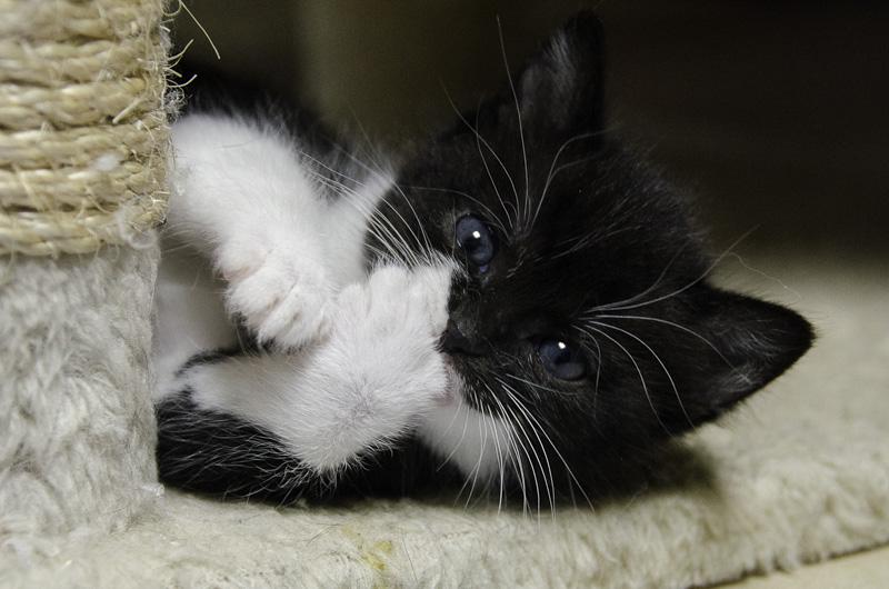 Iona, chatonne noire et blanche, née vers le 15 Aout 2013 Iona-J11-9_zps3dcd9bae